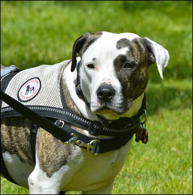Service Animal Fraud Is An Increasingly Common Crime In California