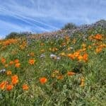 is picking california poppies or fruit from public trees legal?